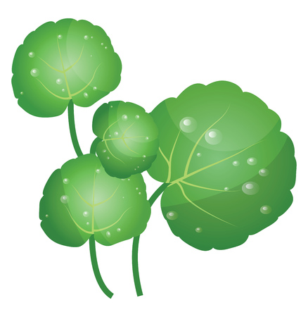 Green water cress leafs vector illustration of vegetables on white background.