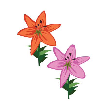 Vector illustration of orange and violet asiatic lily flowers on white background.