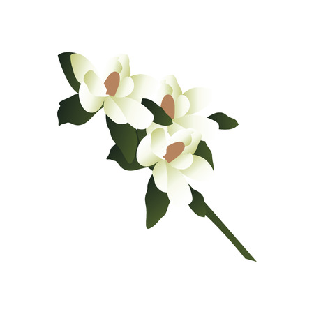 Vector illustration of white magnolia flowers with green leafs on a branch  white background.