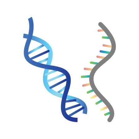 DNA and RNA vector illustration on white background