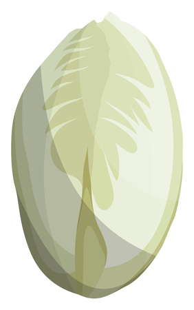 White witloof vector illustration of vegetables on white background.