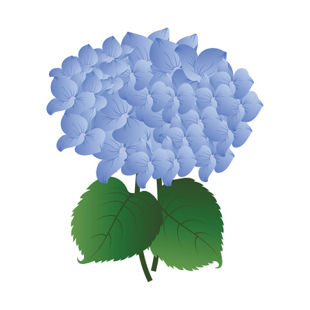 Vector illustration  blue hydrangea flower with green leafs on white background. Иллюстрация