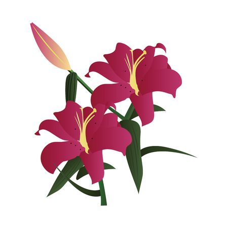 Vector illustration of dark pink lily flowers with green leafs and bud on white background.