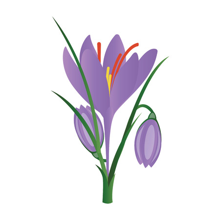 Vector illustration of purple crocus flowers on white background.