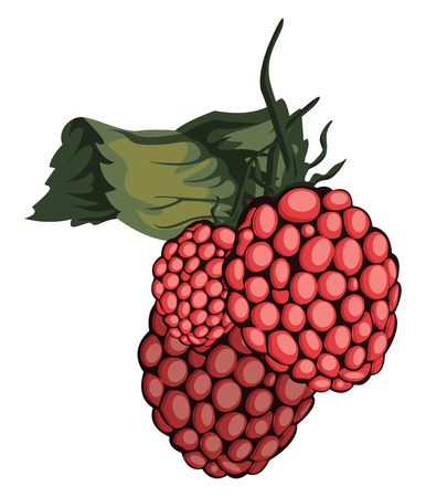 Vector illustration of red rasberry fruit with green leaf white background.
