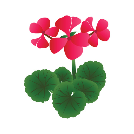 Vector illustration of bright pink geranium flowers with green leafs on white background.