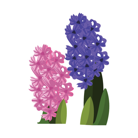 Vector illustration of pink and blue hyacinth flowers with green leafs on white background. Ilustracja