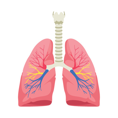 Human lungs anatomy vector illustration on white background.