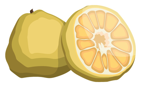 Vector illustration of yellow ugly fruit half a fruit yellow with seeds white background. Ilustração