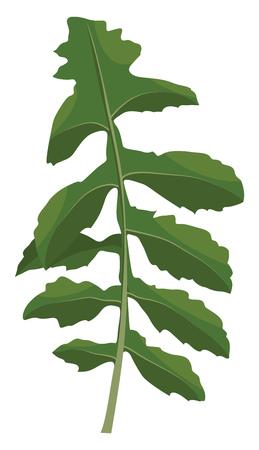 Green ruccola leaf vector illustration of vegetables on white background.
