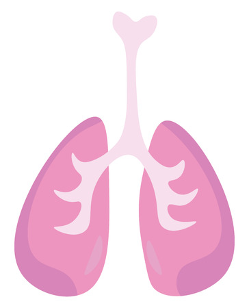 An internal organ forming major part of respiratory system known as lungs vector color drawing or illustration