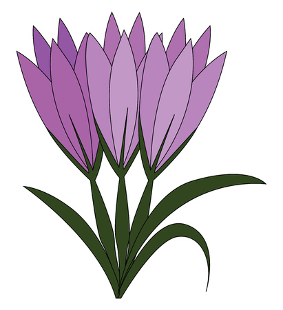 Violet crocus flowers with green leaves vector illustration on white background Ilustrace