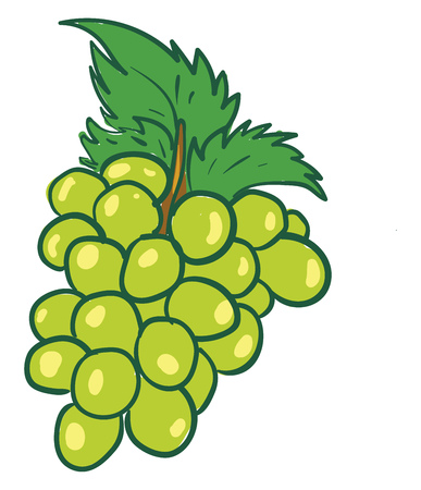 A bunch of ripe juicy green grapes hanging from a grapevine vector color drawing or illustration