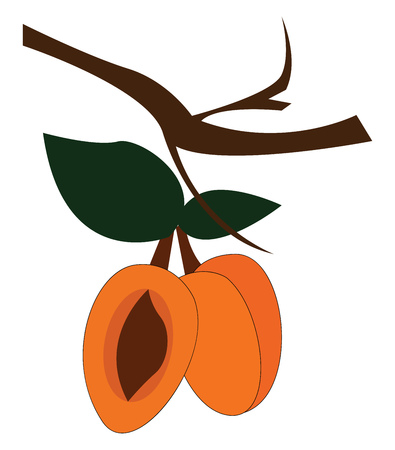 Three apricot fruits with leaves in a small branch of a tree seed of one fruit enclosed in a hard stony shell is exposed vector color drawing or illustration Banco de Imagens - 120987287