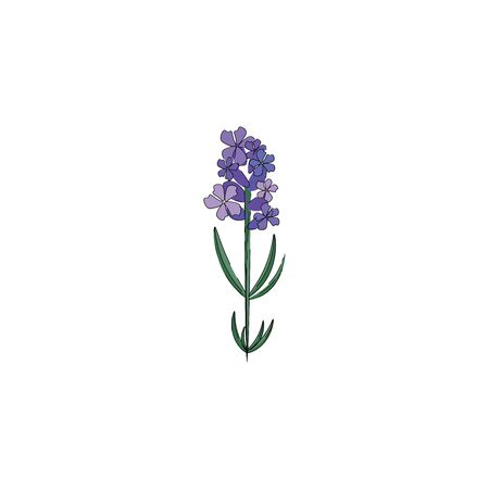 A small lavender plant with bunch of flowers in it vector color drawing or illustration Çizim