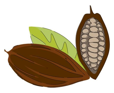 Cacao beans  fruit or pod of the cacao tree with rough  leathery brown rind filled with pulp and seeds exposed are pale lavender to dark brownish purple color  vector  color drawing or illustration Ilustração
