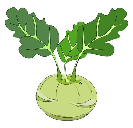 Drawing of a swollen  spherical  pale-yellow kohlrabi with three leaves on individual stout stalks lies on the ground and considered as a cabbage variety  vector  color drawing or illustration