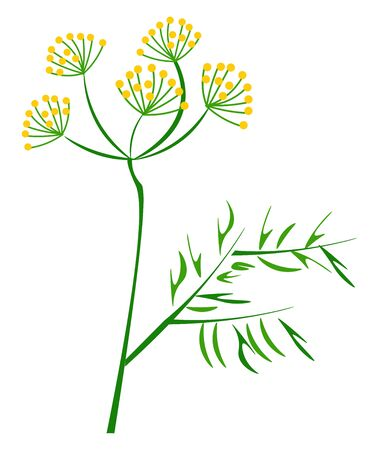 Portrait of the dill plant with yellow flowers and elongated leaves on the slender stalks of the stem  vector  color drawing or illustration Фото со стока - 132666163
