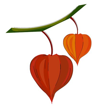 An orange and red colored physalis fruits hanging on the branches of the tree vector color drawing or illustration