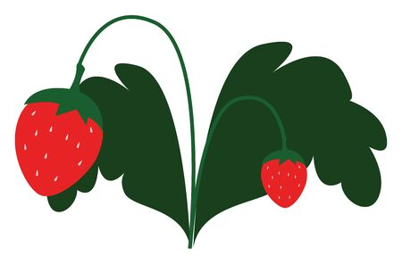 A small plant with fresh red strawberries on it with two big leaves , vector, color drawing or illustration.