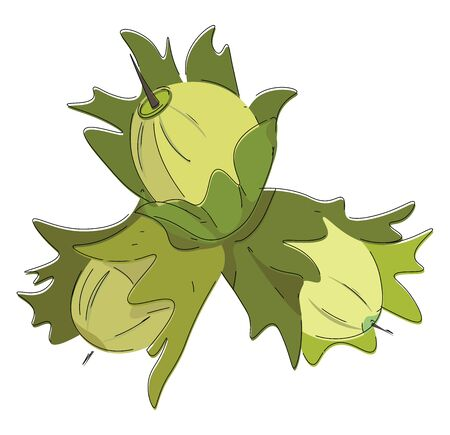 A bunch of three hazelnut which are pale green in colour , vector, color drawing or illustration.