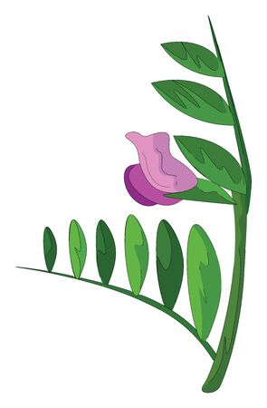 A vetch flower of a scrambling herbaceous plant purple in color and with elongated oval-shaped leaves on the green stalk over white background, vector, color drawing or illustration.