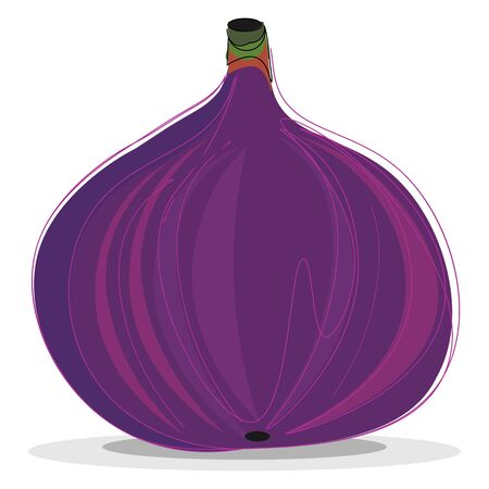 An illustration of a ripe purple fig, vector, color drawing or illustration.