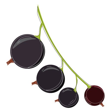 A black currant attached to the green stem, vector, color drawing or illustration.