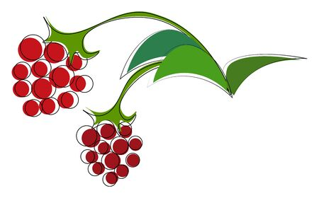 Two ripe raspberries hanging on green vines with green leaves, vector, color drawing or illustration.