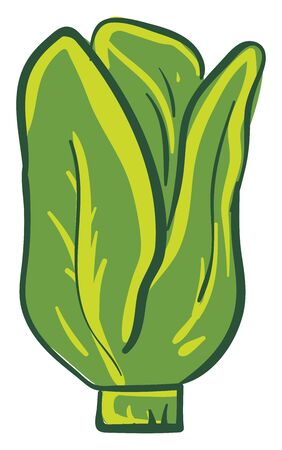 Green colour lettuce, vector, color drawing or illustration. Ilustracja
