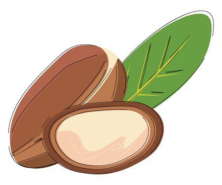 It is the kernel of argan tree, originally from Morocco, that is used in cosmetics and producing cooking oil., vector, color drawing or illustration. 向量圖像