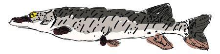 Amur pike, illustration, vector on white background.