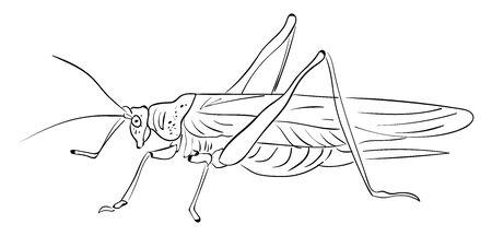 Grasshopper drawing, illustration, vector on white background.