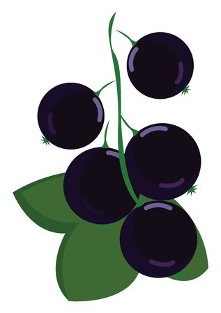 Black currant, illustration, vector on white background. 向量圖像