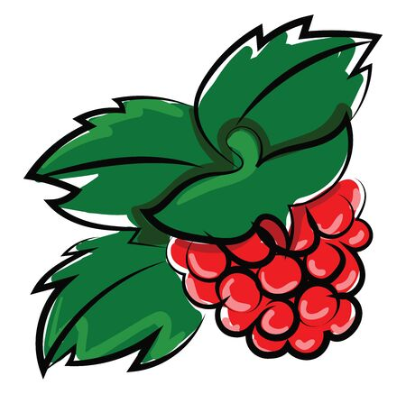 Raspberries, illustration, vector on white background.