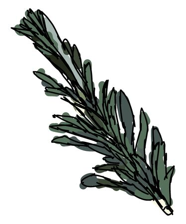 Rosemary, illustration, vector on white background.