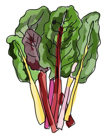 Chard, illustration, vector on white background.