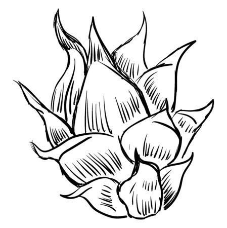 Pitahaya, illustration, vector on white background.