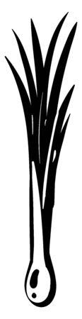 Leek drawing, illustration, vector on white background.