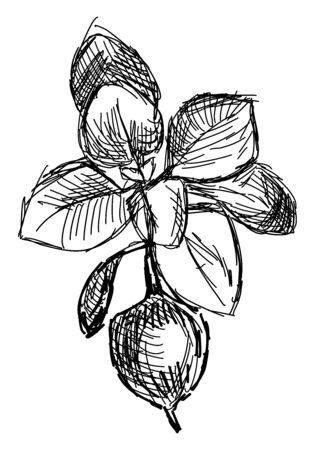 Oregano drawing, illustration, vector on white background.