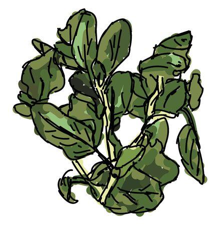 Fresh oregano, illustration, vector on white background.