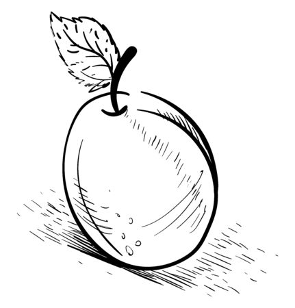 Apricot drawing, illustration, vector on white background.