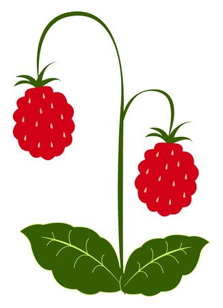 Fresh raspberries, illustration, vector on white background