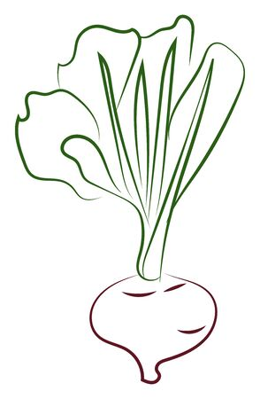 Turnip drawing, illustration, vector on white background.