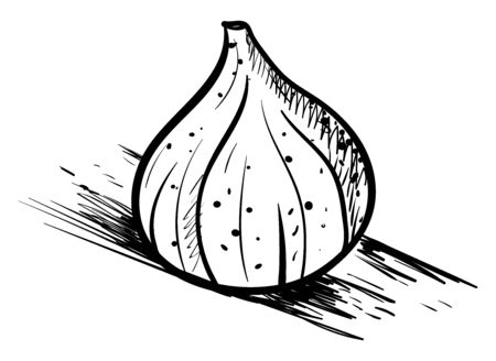 Fig drawing, illustration, vector on white background.