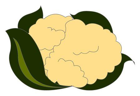 Fresh cauliflower, illustration, vector on white background.