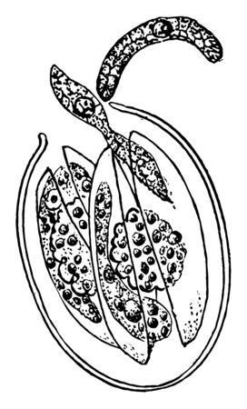 An illustration of the liberation of Cyclospora Cayetanensis spores, vintage line drawing or engraving illustration.