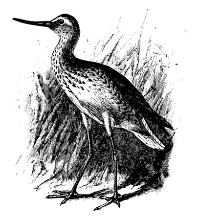 Green Sandpiper is a small shorebird in the Scolopacidae family of waders, vintage line drawing or engraving illustration.