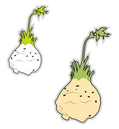 Fresh celeriac, illustration, vector on white background.