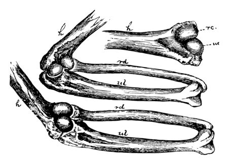 This image represents Mechanism of the Elbow Joint, vintage line drawing or engraving illustration.